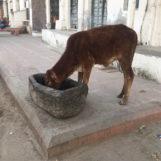 Kráva si pochutnává na večeři